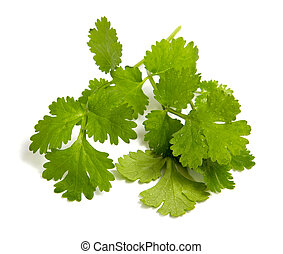 Fresh coriander leaves closeup shot isolated on white