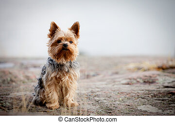 Yorkshire terrier - Young yorkshire terrier having good time...