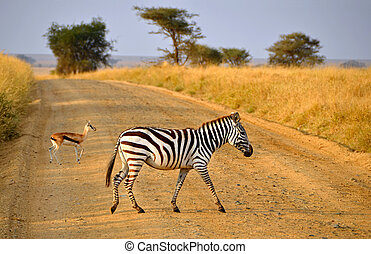 Young Zebra crossing road with Antelope on Safari in...