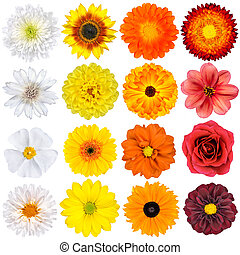 Various White, Yellow, Orange and Red Flowers Isolated on...