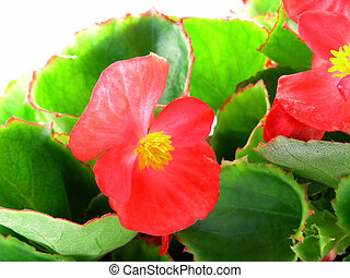 begonia - flower of a begonia isolated on a white background...