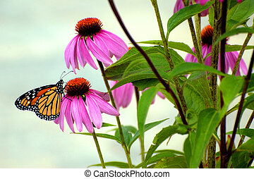 Monarch in the Garden - A beautiful monarch butterfly on one...
