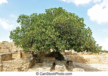 fig tree - picture of a big fig tree in Crete