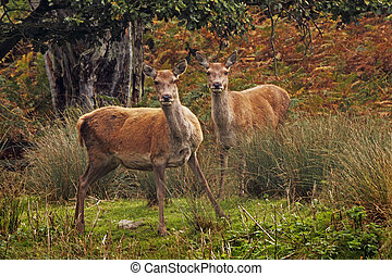 Red Deer in the forrest