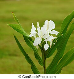 Galangal white flowers.