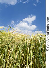 Agriculture - Close up photo of wheat in spring with blue...