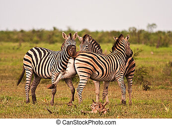 Three zebras fighting