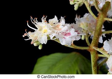 Aesculus hippocastanum - Close up of chestnut blossom...