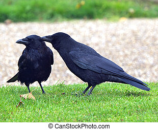 Crows - Two crows grooming