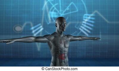 Rotating human figure with stomach - Rotating human figure...