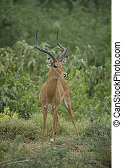 impala in the savannah - impala standing on the grass in...