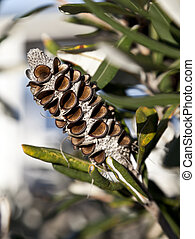Banksia Seed Pod - Banksia seed pod showing the open woody...