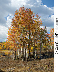 Aspen Clump - Aspen leaves turn golden in the mountains...