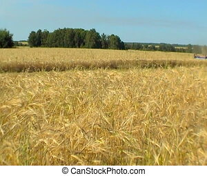 Agriculture - The Ripened wheat collects the combine.