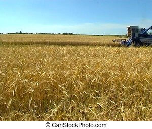Agriculture - The Ripened wheat collects the combine