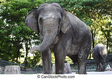 Zoo Elephant Approaching Looking at You with Sad Eyes