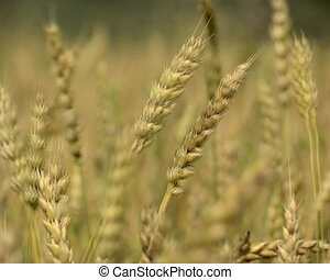 Agriculture - The Ripened wheat