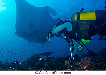 Big Manta Ray and Scuba Diver - Big Manta Ray swiiming near...