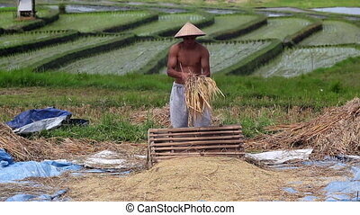 Harvest    - Harvest: strong man threshes rice on bali