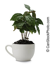 Coffee plant - A coffee plant growing in a coffee cup with...