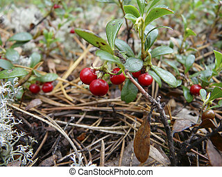 Arctostaphylos - Red berry close-up in nature is growing in...