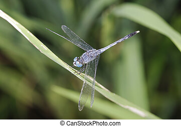 Blue dragonfly is standing on the grass leaf