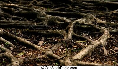 tree roots. Camera move then hold. - tree roots. Camera move...