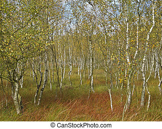 a beautiful birch forest in a moor in autumn