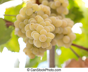 bunch of grapes in nature
