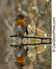 Robin with reflection. - Robin perched on a branch with...