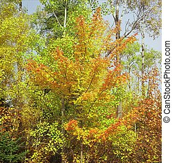Solitary Maple Highlight - Brilliant autumn colors of a...