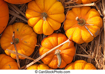 thanksgiving pumpkins on straw at daylight - thanksgiving...
