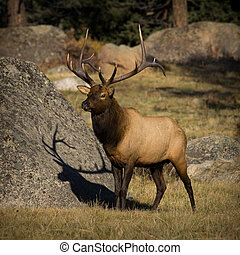 6X6 Bull Elk in Horseshoe Park, Rocky Mountain National Park...