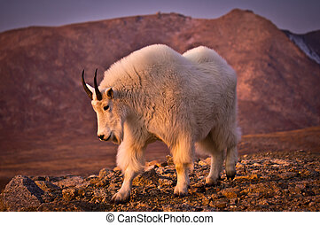 Mount Evans Mountain Goat - A Mountain Goat poses along side...