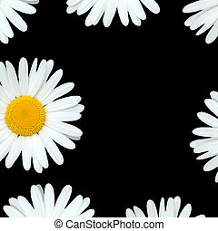 Daisy Flowers - Abstract design of white ox eye daisy...