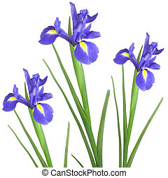 Iris Trio - Three blue iris isolated against a white...