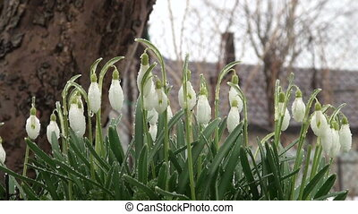 Snowdrops on the meadow