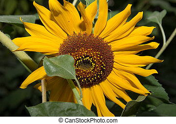 sunflower on a background of nature