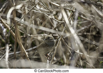 Little bird camouflaged in a bush by a tangle of twigs and...