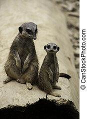 Two meerkats, Suricata suricatta