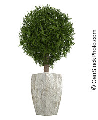Evergreen cypress topiary tree in a container for use...