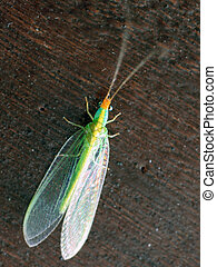Green lacewings resting on top of wood
