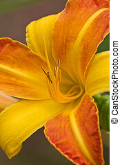 Lilly flower - Macro close up of vibrant orange day lilly...