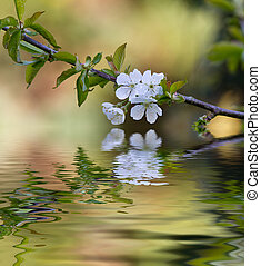Plum tree blossom and reflection in water.