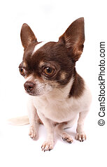 chihuahua - brown and white chihuahua dog on the white...