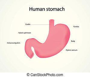 human stomach - illustration of human stomach
