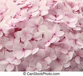 Pink hydrangea flowers - Romantic, soft and beautiful...