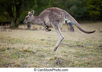 Jumping kangaroo, Blue Mountains, New South Wales, Australia