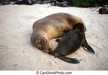 Baby Galapagos sea lion Zalophus wollebaeki and mother