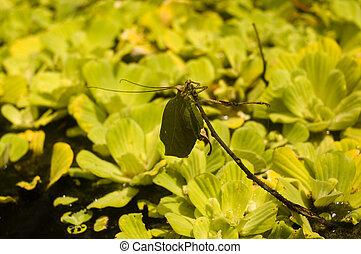 Leaf-mimicking katydid - Peruivian leaf mimicking katydid...